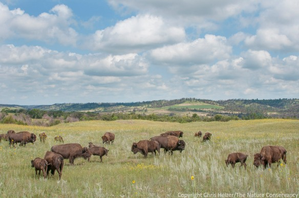 These bison are grazing in a 10,000 acre pasture at The Nature Conservancy's Niobrara Valley Preserve in Nebraska.