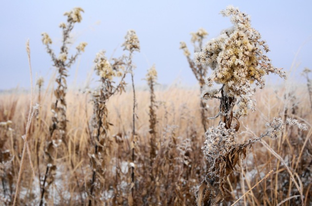 Hoarfrost on Canada goldenrod
