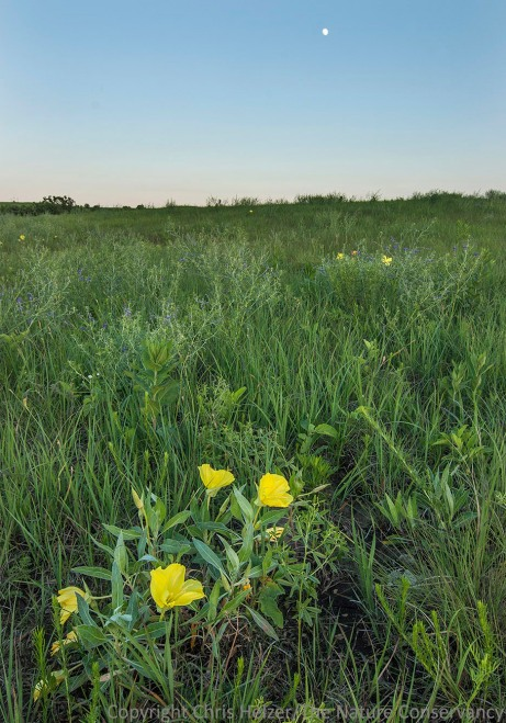 Missouri evening primrose in tallgrass prairie at Camp Cornhusker (Boy Scouts of America) near Humboldt, Nebraska