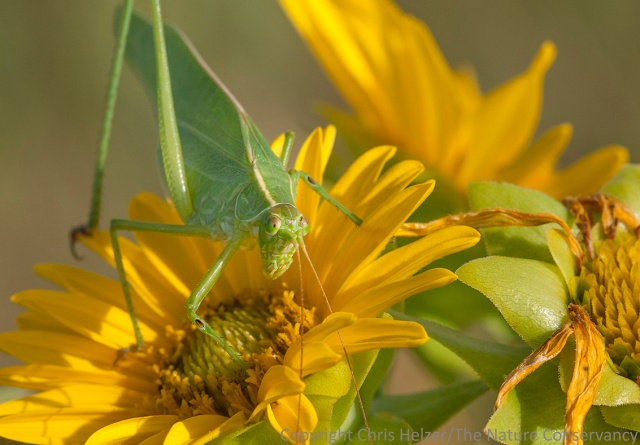 A bush katydid on a rosinweed flower - The Nature Conservancy's Platte River Prairies, Nebraska.