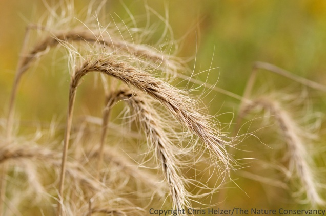 Canada wildrye  is a native cool-season grass that is common in our restored prairies.
