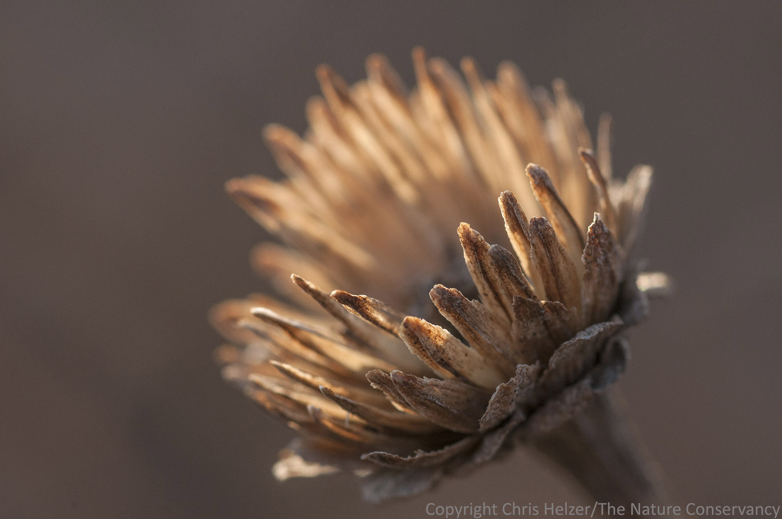 A false sunflower seed head is backlit by the setting sun.
