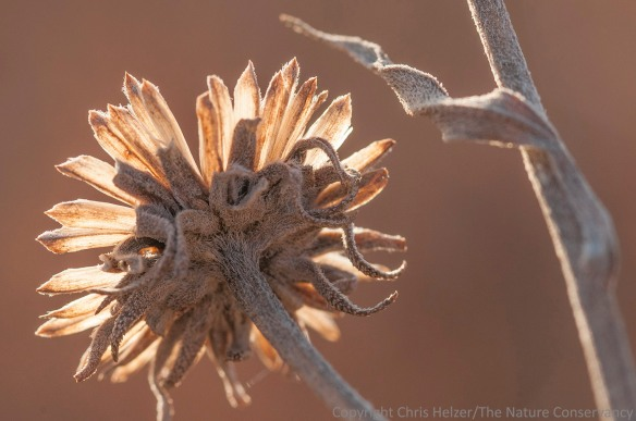 Another (yawn) sunflower seed head.  This time it's Maximilian sunflower.  The light was kind of interesting, though.