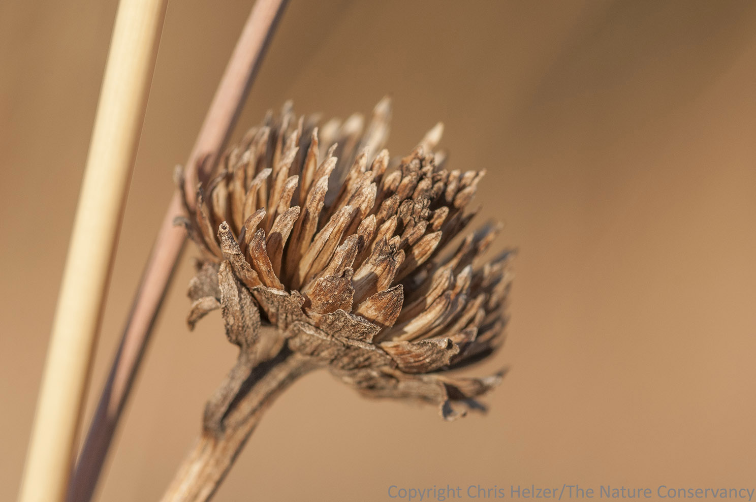 Another false  sunflower seed head.