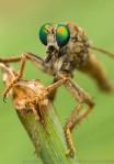 Robberfly.  Bader Park, Hamilton County, Nebraska.