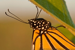 Monarch butterfly on common milkweed