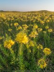 Four-point evening primrose and prairie.  The Nature Conservancy's Platte River Prairies, Nebraska.