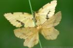 Geometer moths.  Sarpy County, Nebraska.