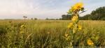Rosinweed in restored prairie.  The Nature Conservancy's Platte River Prairies, Nebraska.
