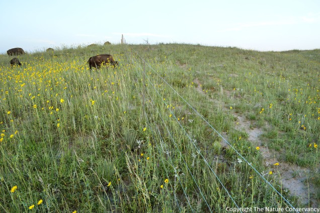 Bison grazing on the left side of the fence.  August 10, 2013