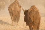 Bison.  The Nature Conservancy's Niobrara Valley Preserve.