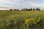 Hairy puccoon and sand prairie.  The Nature Conservancy's Platte River Prairies, Nebraska.
