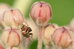 Jumping spider with fly.  Lincoln Creek Prairie.  Aurora, Nebraska.