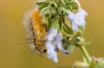 Salt marsh caterpillar (and other insects) on pitcher sage.  The Nature Conservancy's Platte River Prairies, Nebraska.