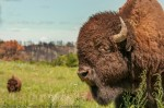 Bull bison at The Nature Conservancy's Niobrara Valley Preserve.