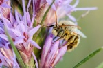 Long-horned bee on dotted gayfeather.  Helzer family prairie.  Hamilton County, Nebraska.