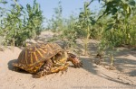 Ornate box turtle.  The Nature Conservancy's Niobrara Valley Preserve.