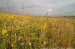 Tallgrass prairie in late summer.  Lancaster County, Nebraska.