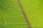 Common milkweed leaf.  Sarpy County, Nebraska.
