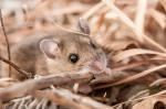 Deer mouse.  Helzer family prairie.  Hamilton County, Nebraska.