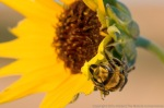 Leaf cutter bee on plains sunflower.  The Nature Conservancy's Niobrara Valley Preserve.