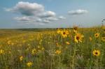 Plains sunflowers in sandhill prairie.  The Nature Conservancy's Niobrara Valley Preserve.
