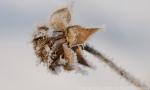 Frost on rosinweed seed head.  Leadership Center Prairie.  Aurora, Nebraska.