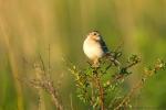 Grasshopper sparrow on wild rose.  The Nature Conservancy's Platte River Prairies, Nebraska
