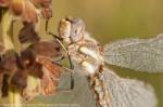 Dragonfly.  Lincoln Creek Prairie.  Aurora, Nebraska.