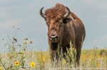 Bison at The Nature Conservancy's Niobrara Valley Preserve.