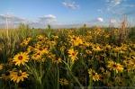 Black-eyed Susans.  The Nature Conservancy's Platte River Prairies, Nebraska.