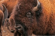 Bison at the Niobrara Valley Preserve
