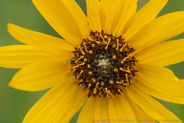 Stiff sunflower.  Lincoln Creek Prairie, Aurora, Nebraska.