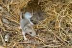 Juvenile deer mice.  The Nature Conservancy's Platte River Prairies, Nebraska.