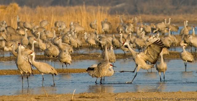 Sandhill cranes roosting on the Platte River in Nebraska.  March 2007.