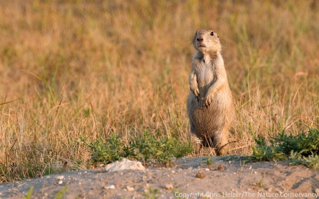 What do you know the little creatures that live underground in prairies?  And no, prairie dogs don't count.