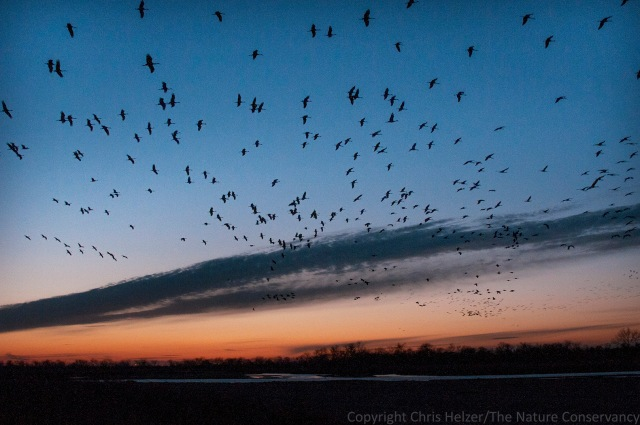 Sandhill cranes coming to the river after sunset.