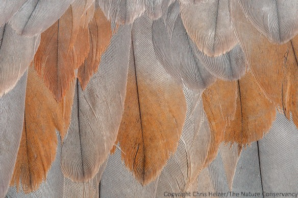 Wing feathers of a dead sandhill crane, found along the Central Platte River in Nebraska.