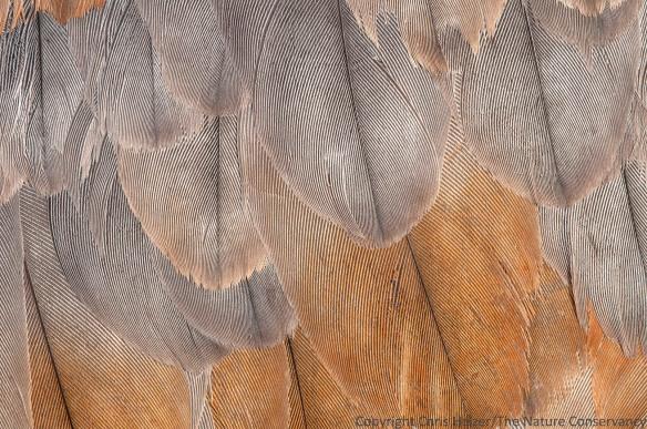 Sandhill crane feathers (dead crane).  Platte River Prairies.
