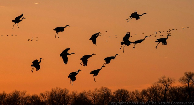 """""""Believe it or not, I'm walking on air...""""   Cranes floating down to the river at sunset."""