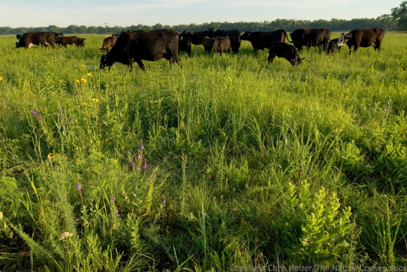 This photo is very aesthetically pleasing to me.  I like the patchiness of the habitat, the floristic diversity, and the presence of grazers showing that the prairie is changing at the moment the photo was taken.  However, some people will recoil at the site of cattle in a prairie, while others will see an undergrazed prairie full of weeds.