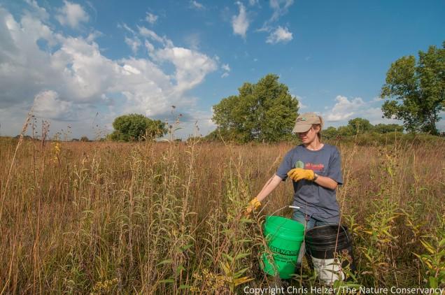 Anne, collecting seeds of Maximilian sunflower.  Platte River Prairies, Nebraska.