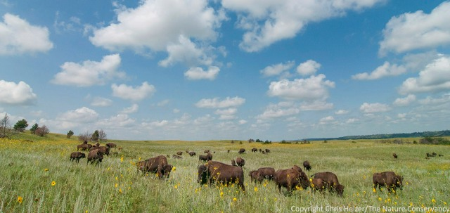 When I see this photo, I see a prairie that has responded to drought and wildfire from a year ago, and is also being affected by bison grazing.  However, to people who aren't familiar with the site and its recent history, the photo is less instructive.