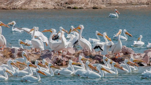 White pelicans at Calamus Reservoir.