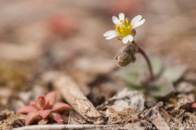 A tiny wildflower at Calamus reservoir, near Burwell, Nebraska.  April 4, 2014