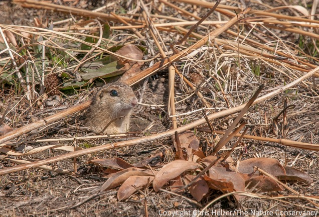 Ground squirrels are themselves well camouflaged, and help disguise their burrows as well, by spreading soil out away from entrances.
