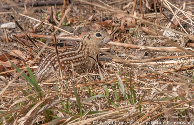 Thirteen-lined ground squirrels are very attractive animals - unless they're eating your garden plants or digging holes in your landscaping.