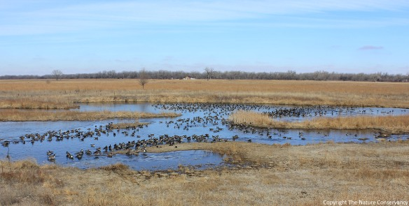 Canada geese, some wigeon, and a few other ducks sit on the restored wetland in March of this year.  This is a common sight, and a good one, but I was always hoping for more than just ducks and geese to use the wetland.