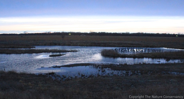 A flock of 70-80 sandhill cranes stands in shallow water at 7pm on March 11.