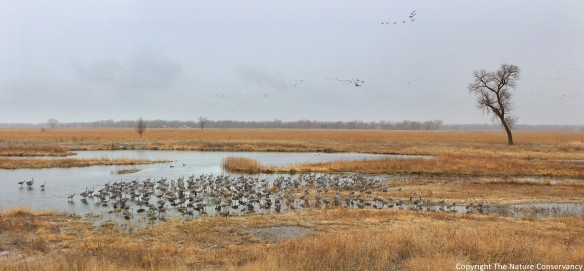 We documented another occurrence of overnight roosting by a flock of sandhill cranes on March 20 of this year.  Interestingly, they roosted in a different part of the wetland this time than they did the previous time...